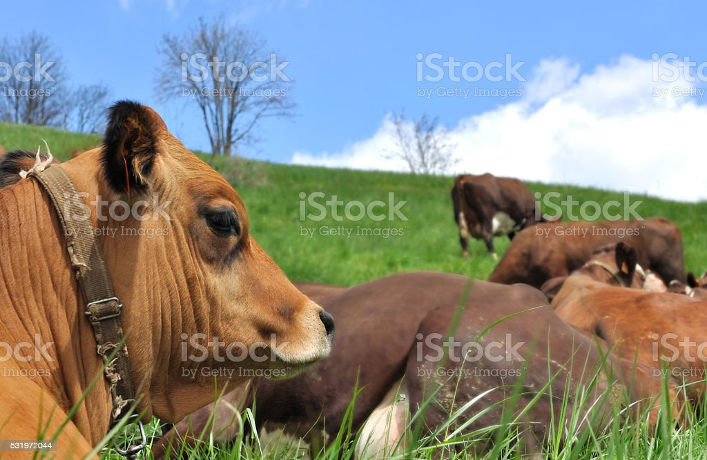 cows lying in pasture stock photo