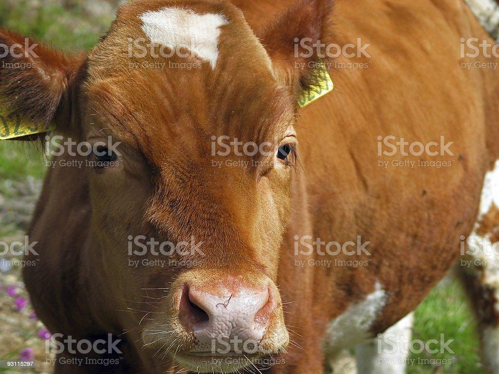cow's nose closeup stock photo