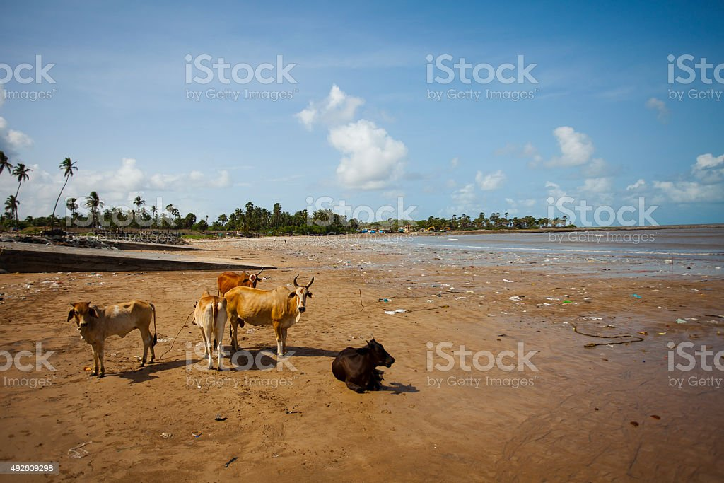 Cows on a beach in a fishermans village in mumbai stock photo