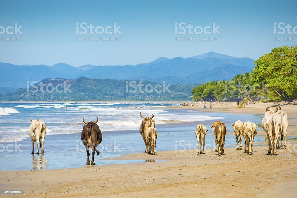 Cows on a Beach royalty-free stock photo
