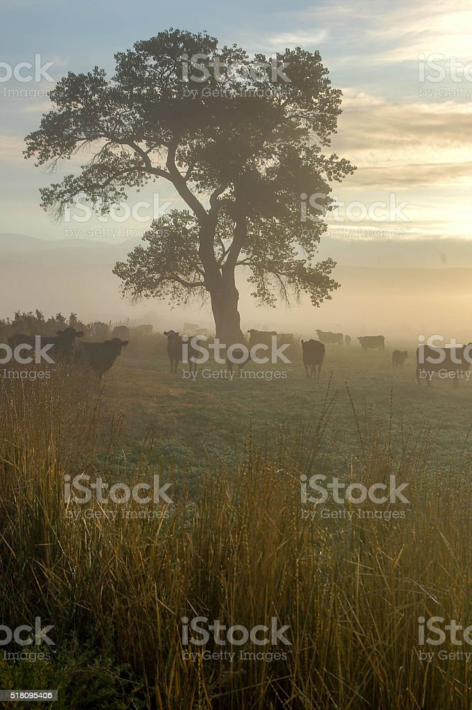 Cows on a foggy morning stock photo
