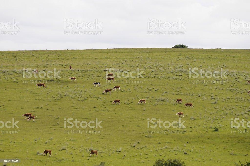 Vaches dans un champ vert photo libre de droits