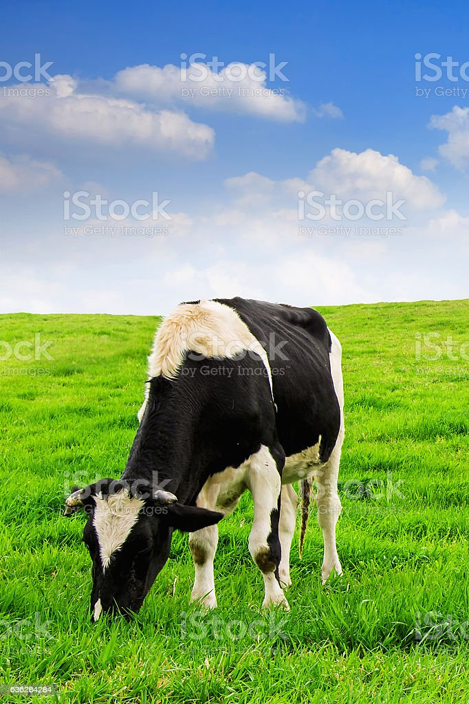Cows on a green field. stock photo