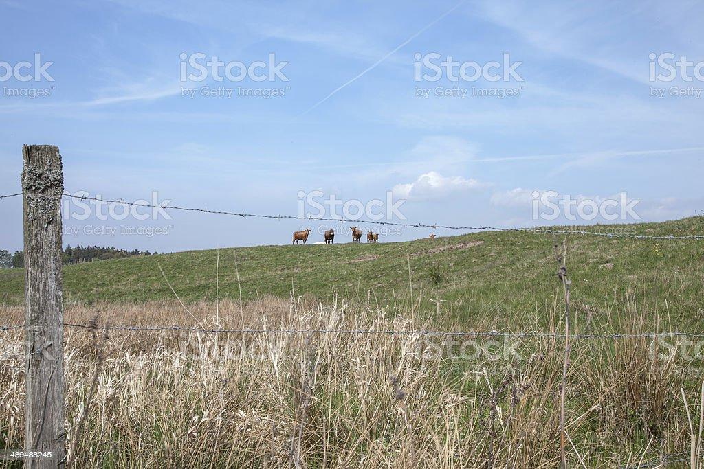 Vacas en una colina foto de stock libre de derechos