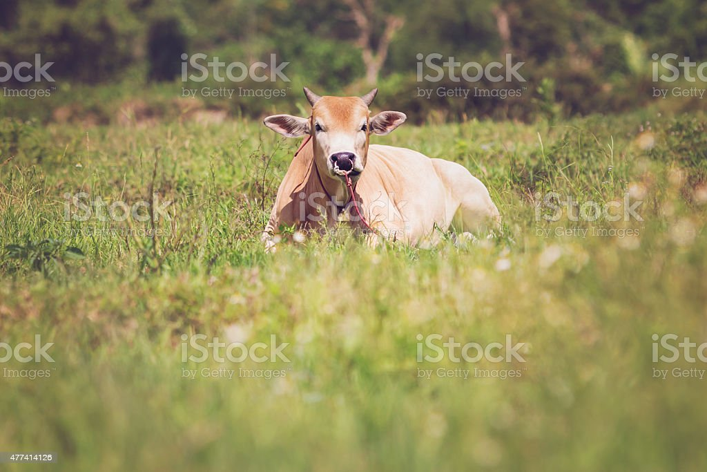 Cows on a meadow royalty-free stock photo