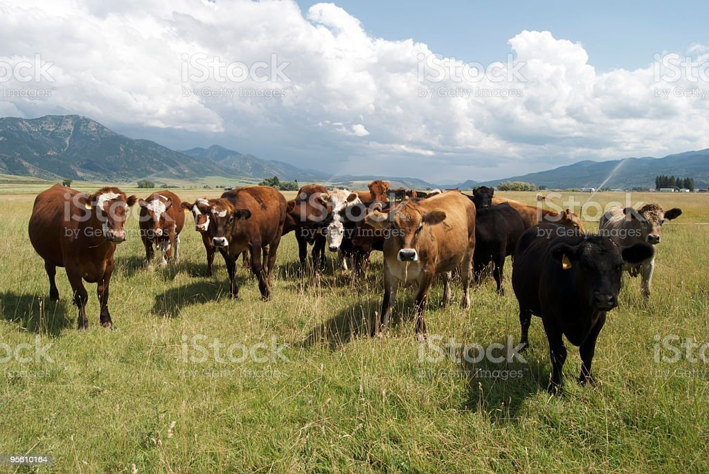 Cows on a pasture royalty-free stock photo