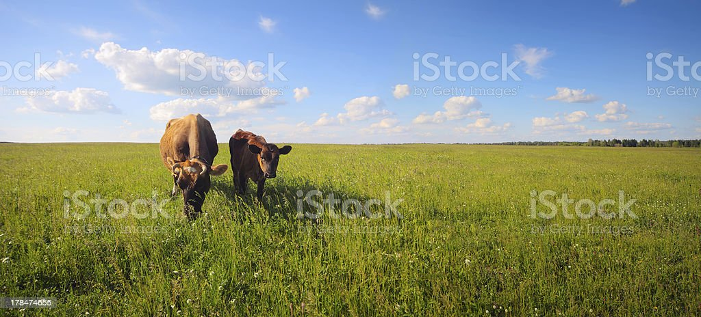 Cows on a summer meadow royalty-free stock photo