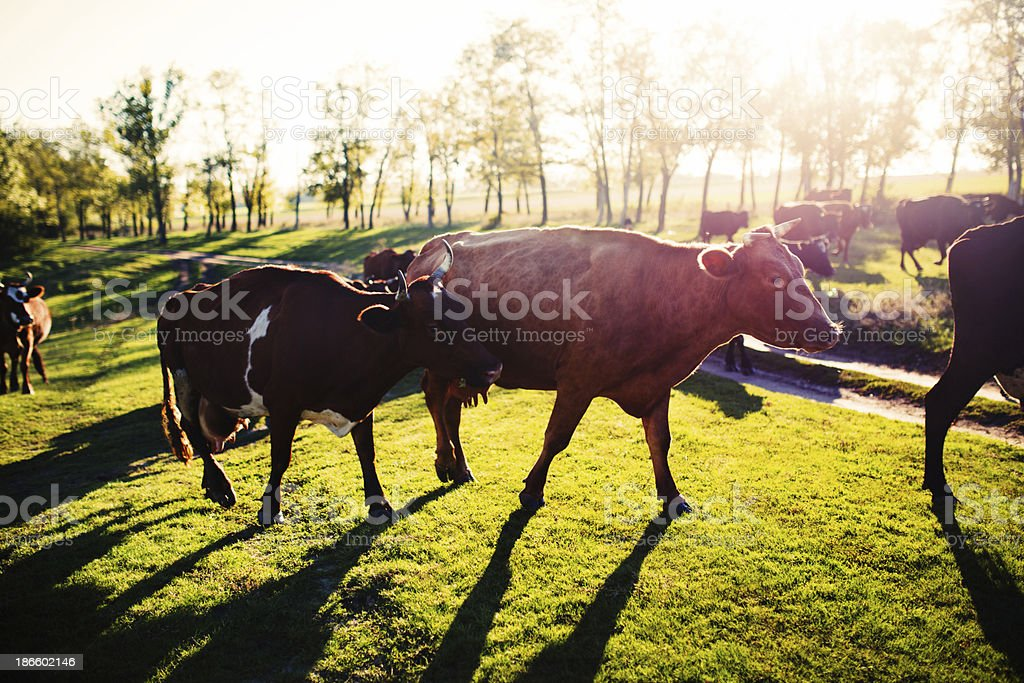 Cows on a summer pasture stock photo