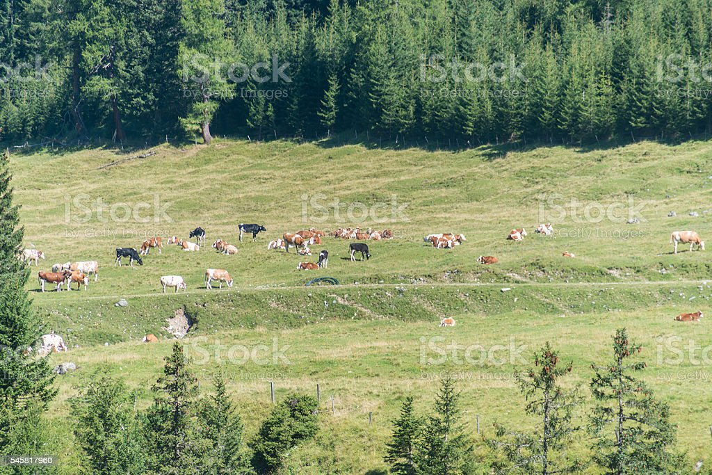 cows on alp stock photo