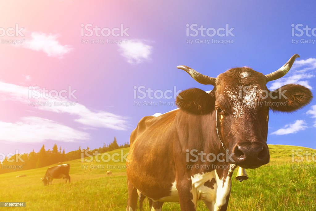 Cows on alpine meadows stock photo