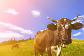 Cows on alpine meadows