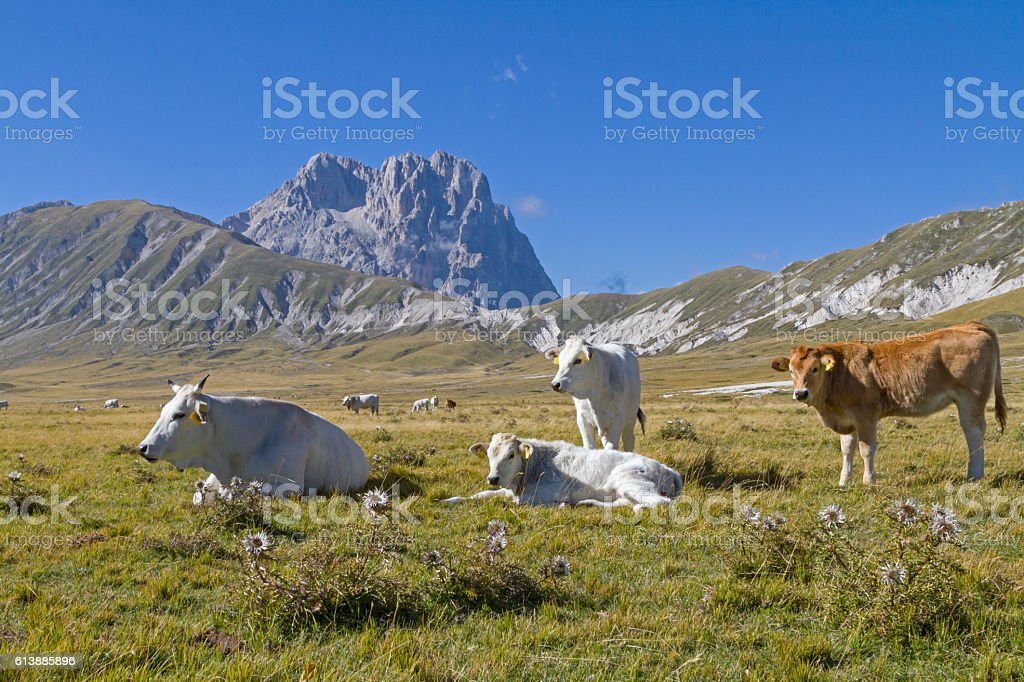 Cows on Corno Grande stock photo