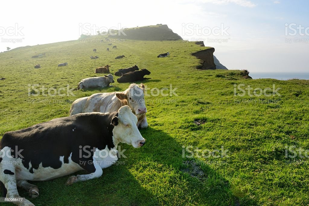 Cows on Dorset's Jurassic Coast stock photo