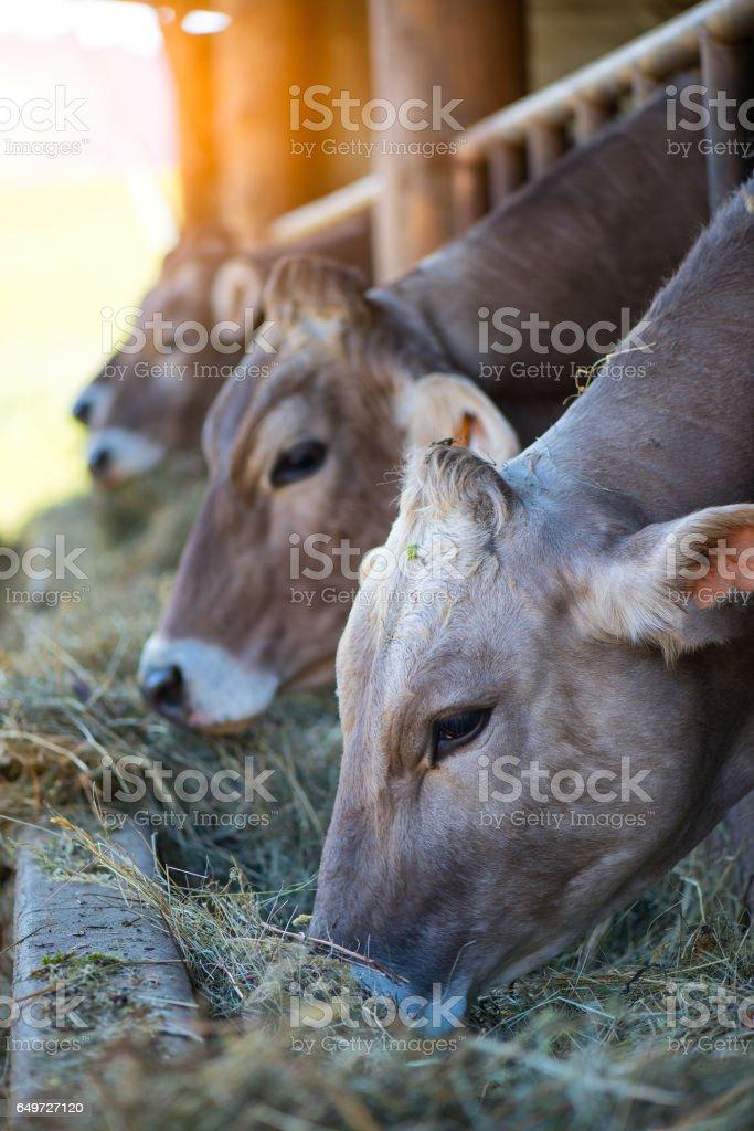 Cows on Farm race Alpine Brown stock photo