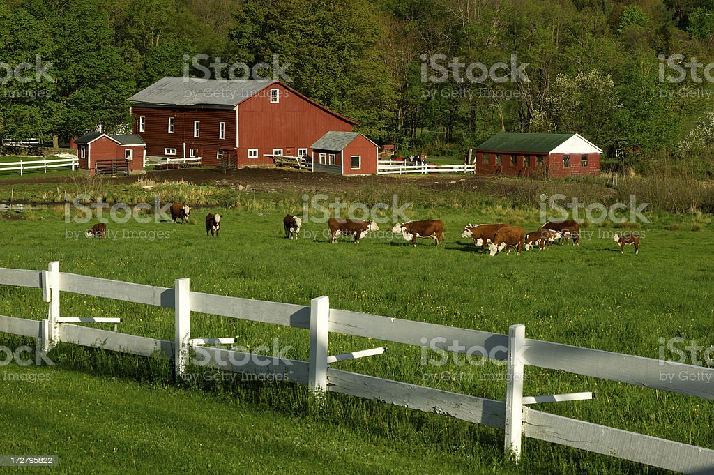 Cows on green field pasture with white fence stock photo