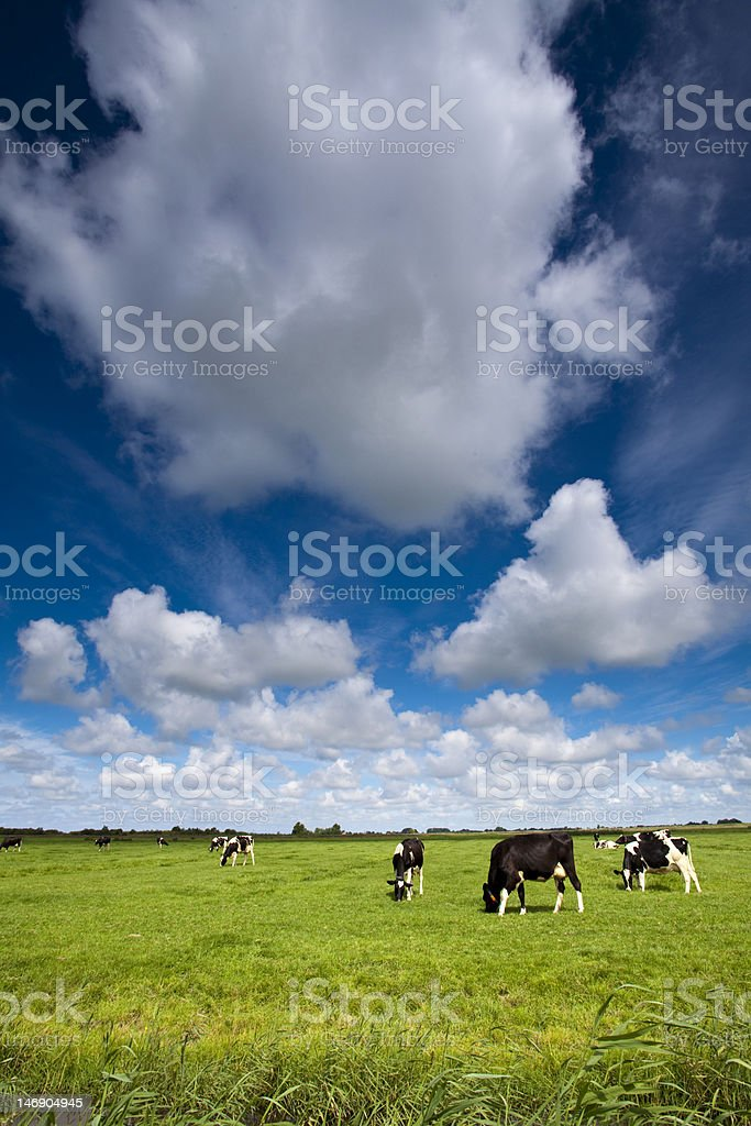 Cows on green meadow royalty-free stock photo