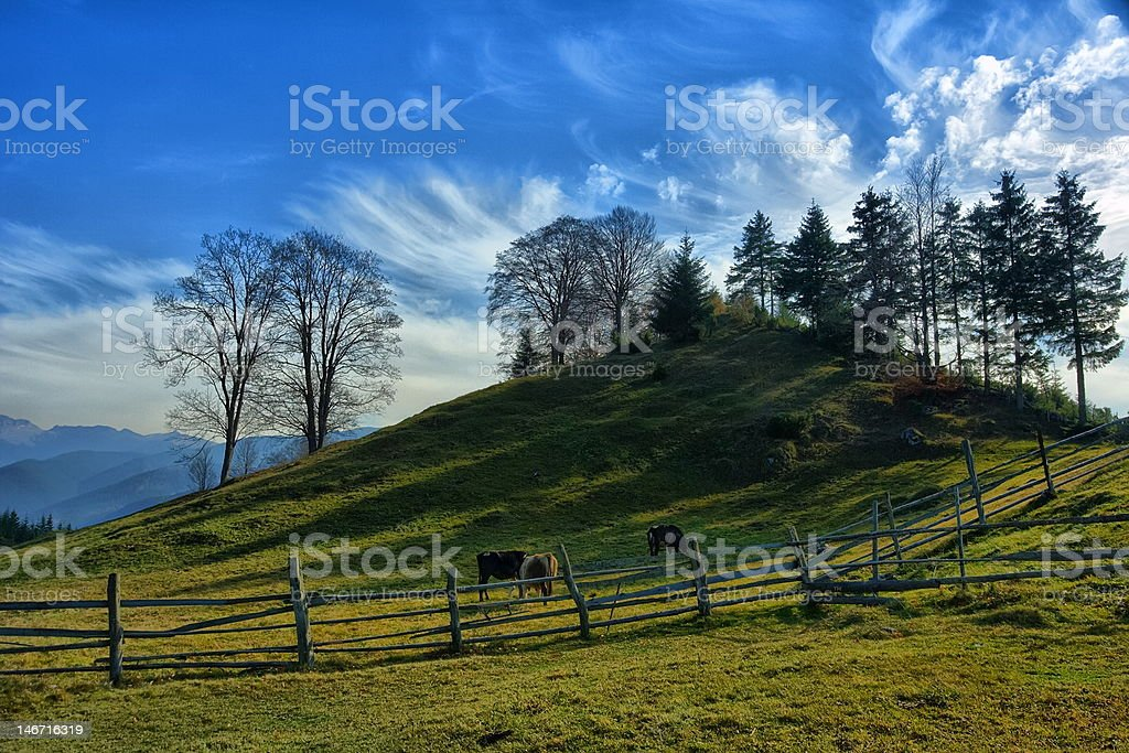Cows on hill royalty-free stock photo