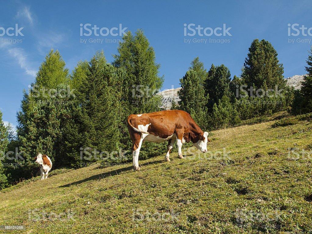 Cows on Italiana Dolomites royalty-free stock photo