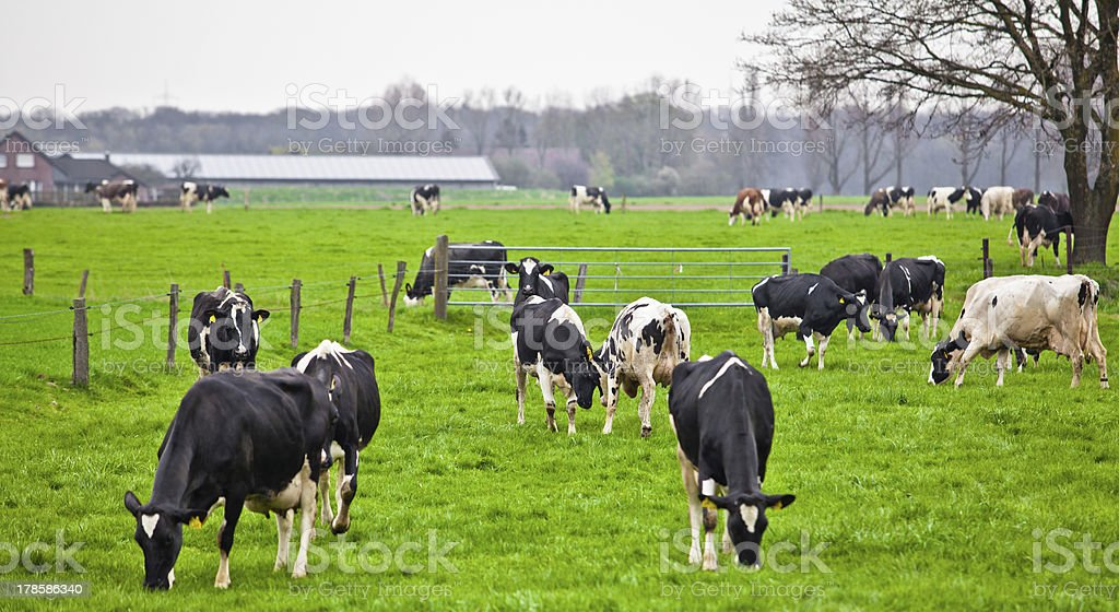 Cows on meadow with green grass. Grazing calves royalty-free stock photo
