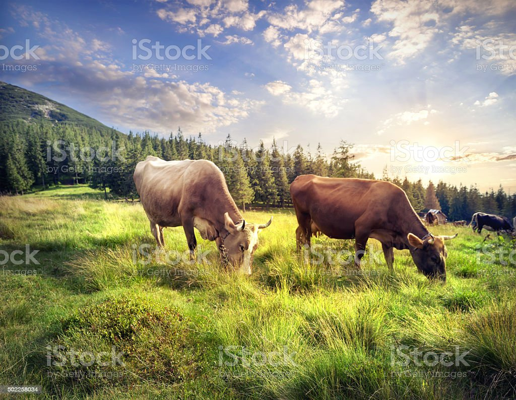 Cows on mountain pasture stock photo