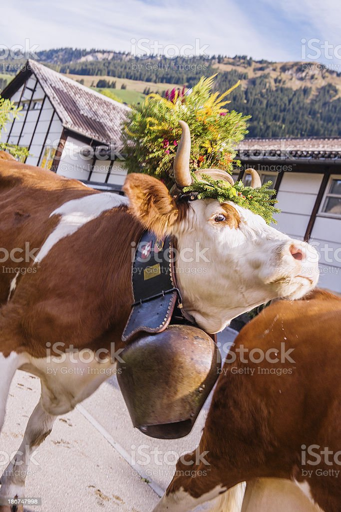 Cows on Parade stock photo