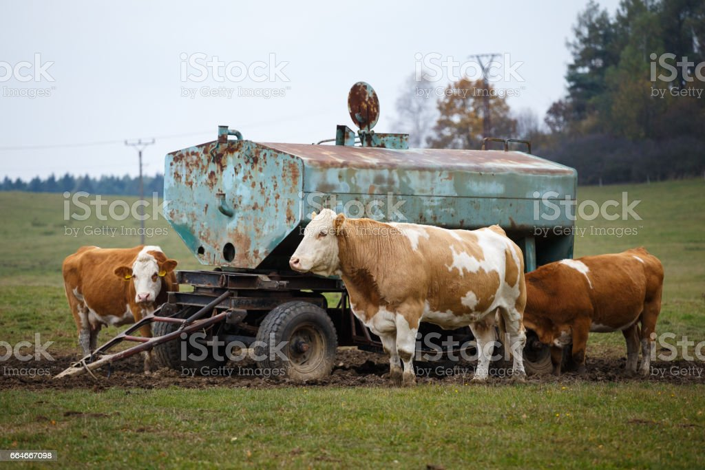 Cows on pasture and water tank stock photo