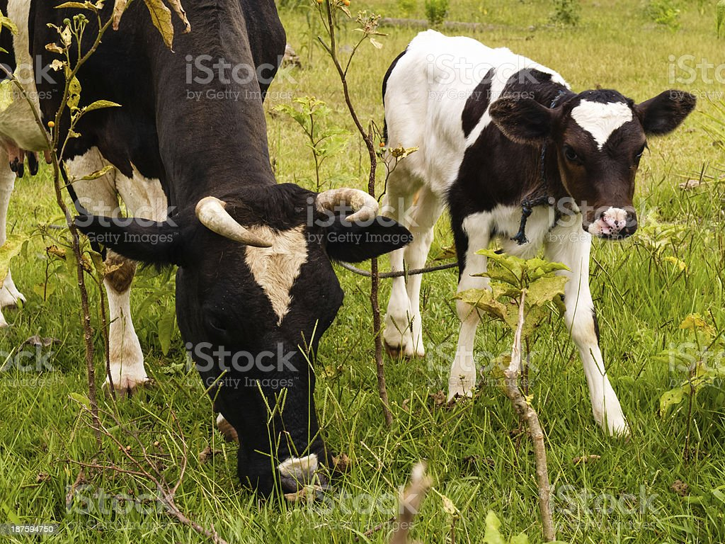 Cows on pasture. Farming in Paraguay, South America royalty-free stock photo