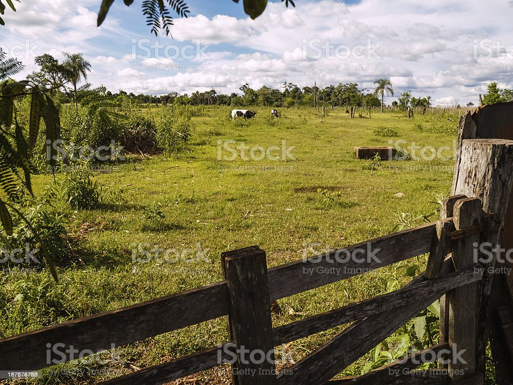 Cows on pasture. Farming in Paraguay, South America stock photo