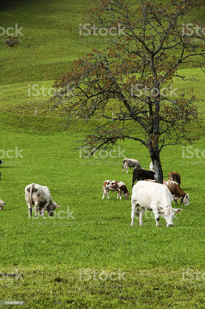 Cows on pasture in the Alps. Animal husbandry, Austria stock photo