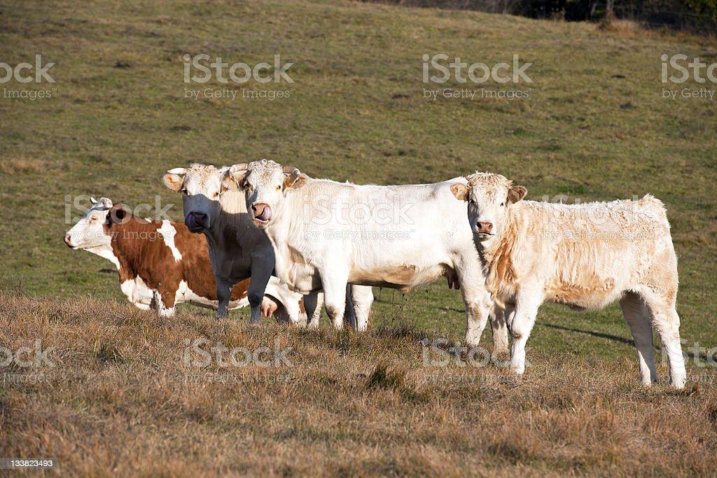 Cows on Pasture Slovenia royalty-free stock photo