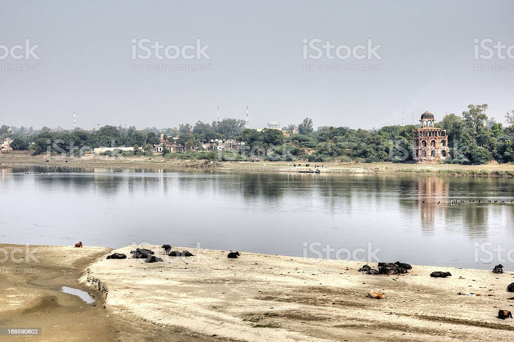 Cows on sandbank at banks of the River Ganges royalty-free stock photo