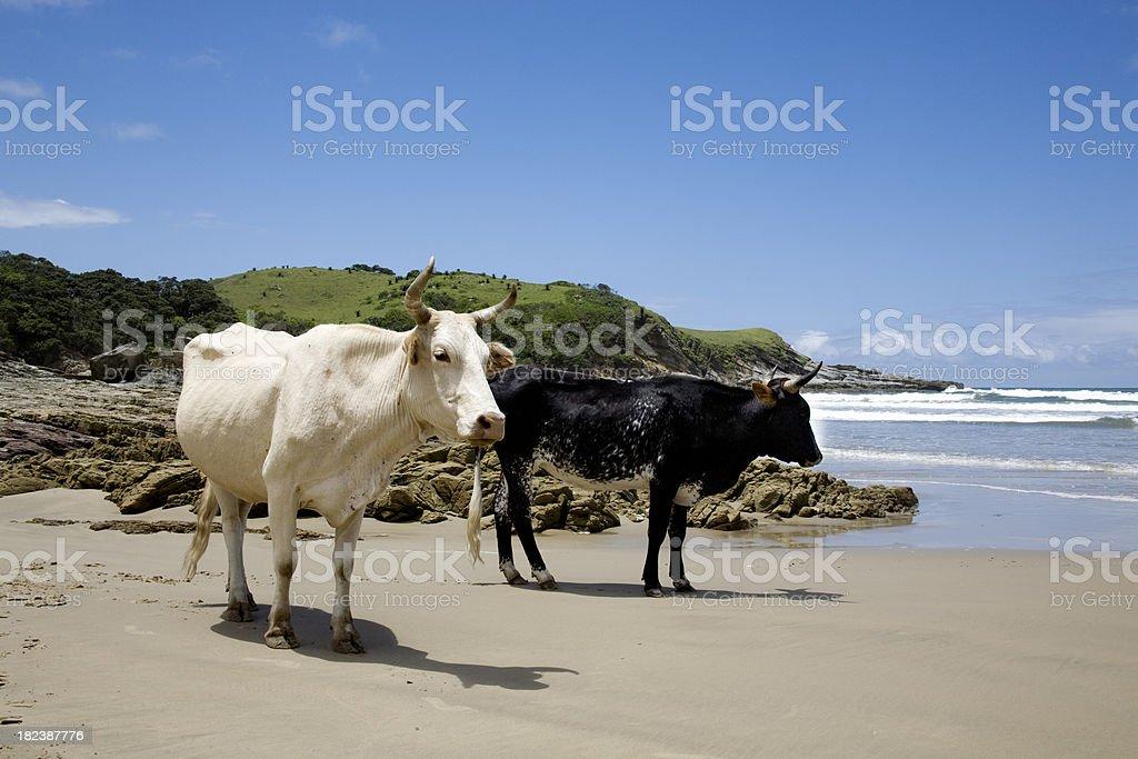 Cows on the beach stock photo