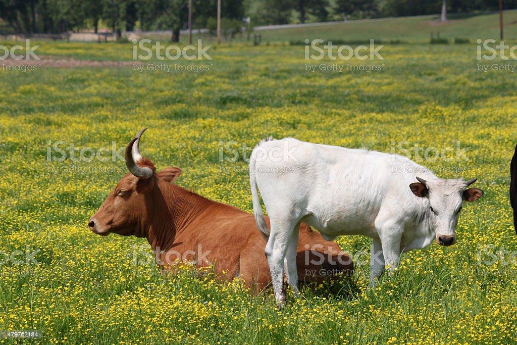Cows on the Farm stock photo