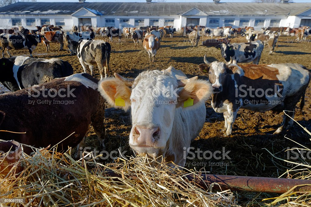 Cows on the farm stock photo