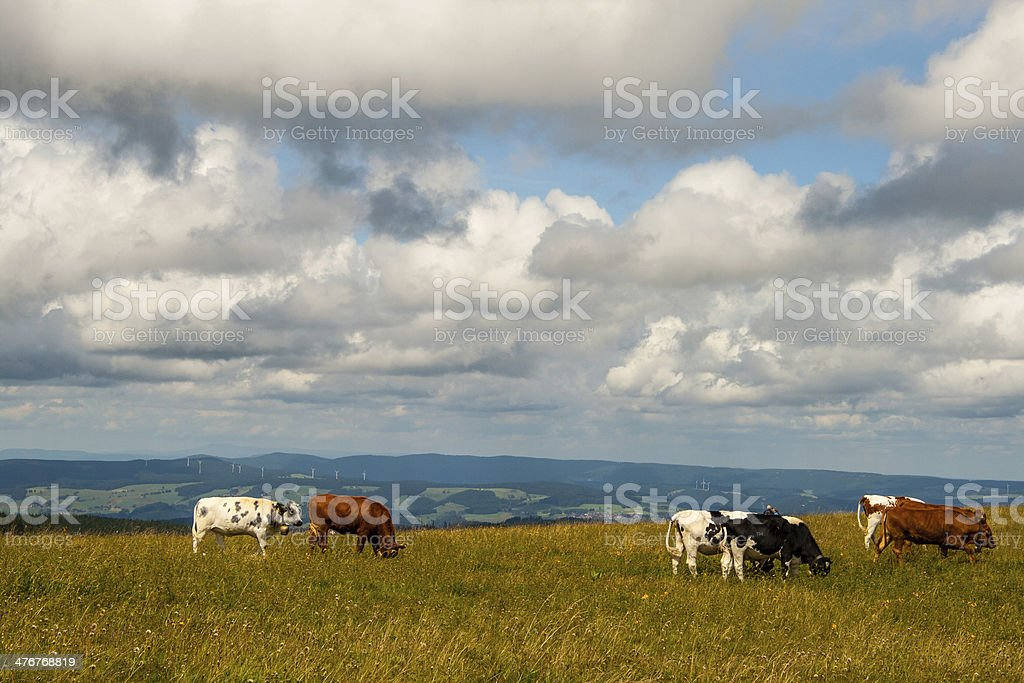Cows on the Feldberg in Germany Black forest. royalty-free stock photo