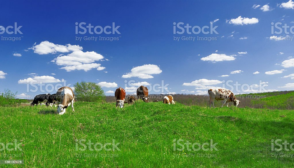 Cows on the Field royalty-free stock photo