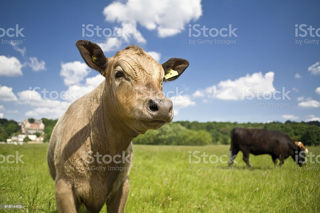 Cows on the green field stock photo