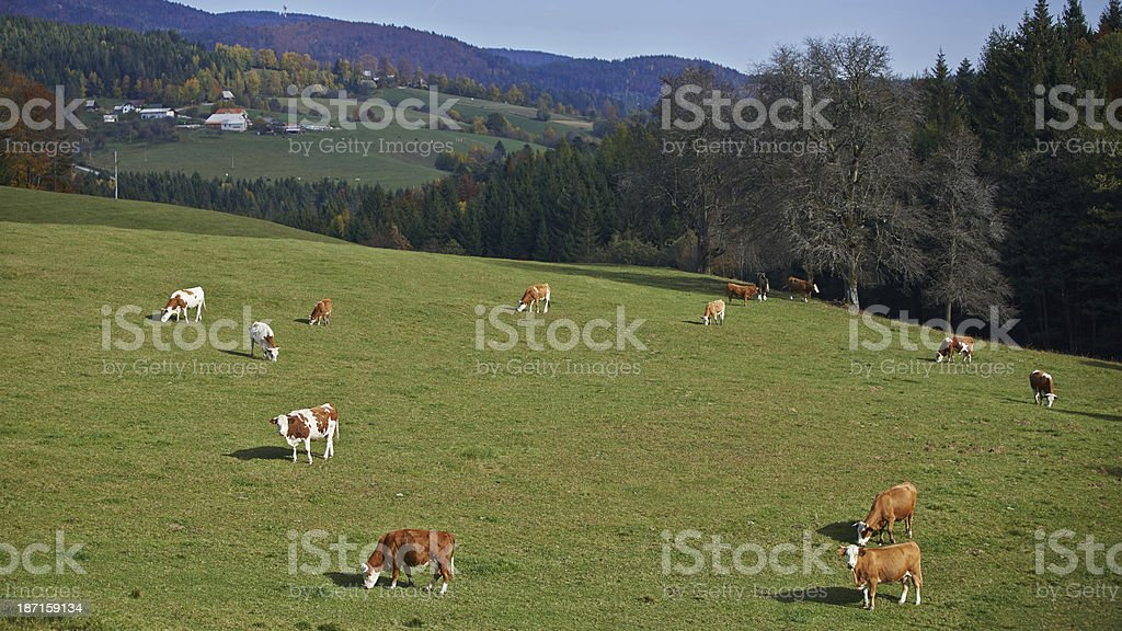 Cows on the green grass royalty-free stock photo