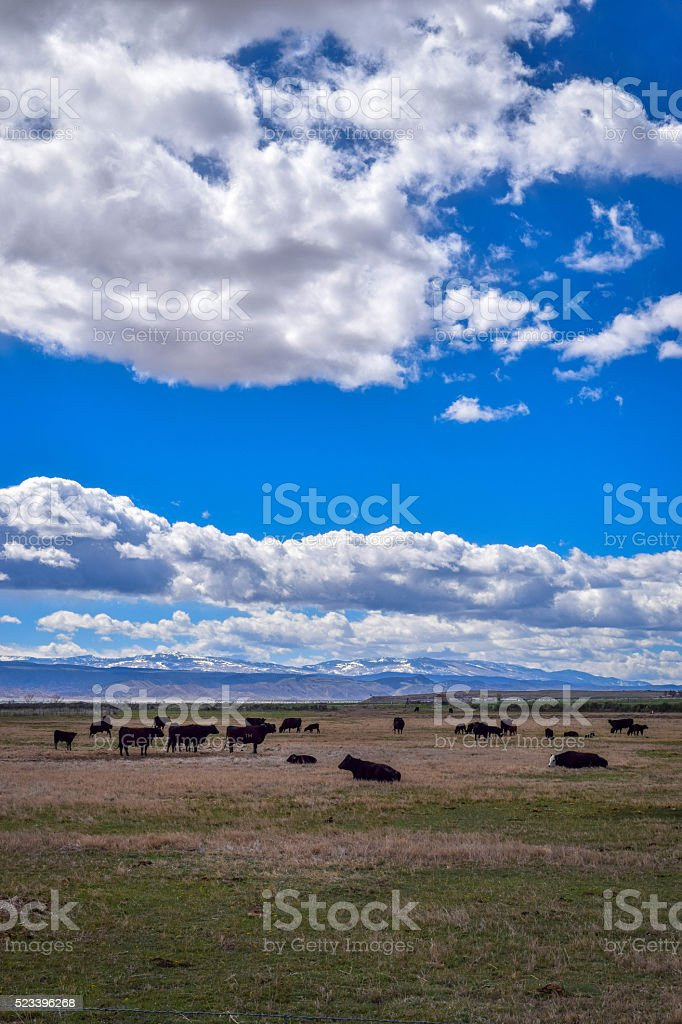 cows on the range stock photo
