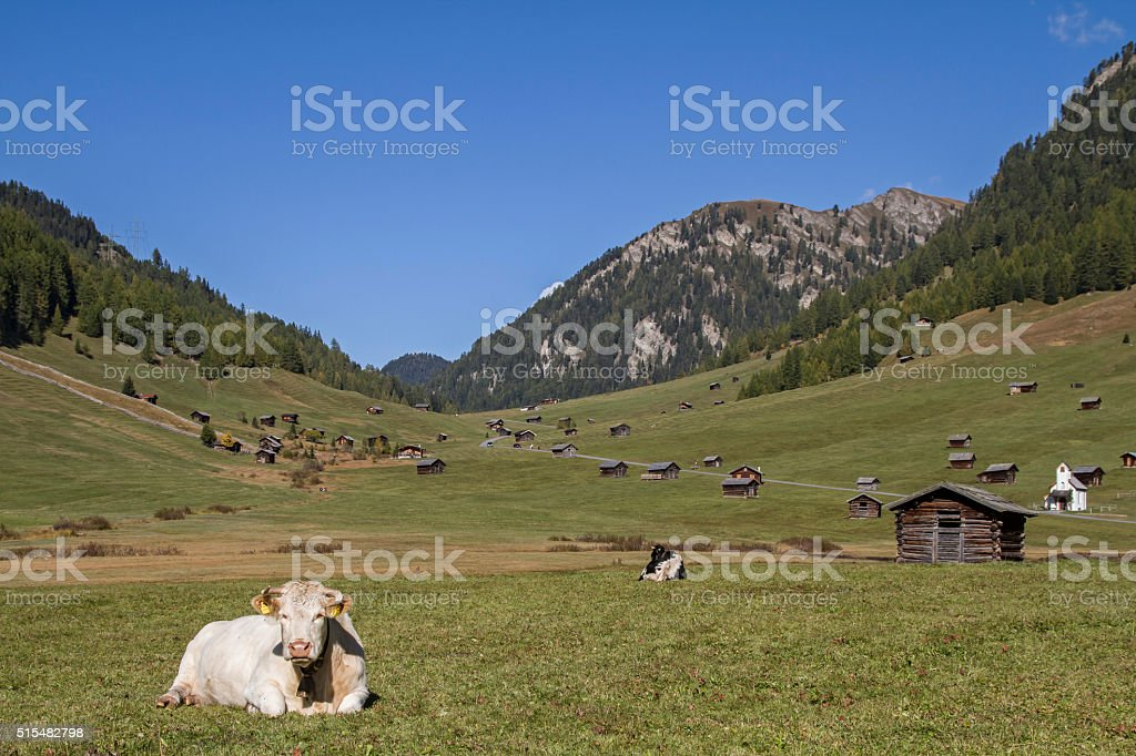 Cows on the Tschey meadows stock photo