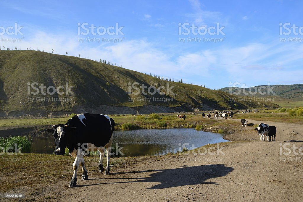 Cows on the way stock photo