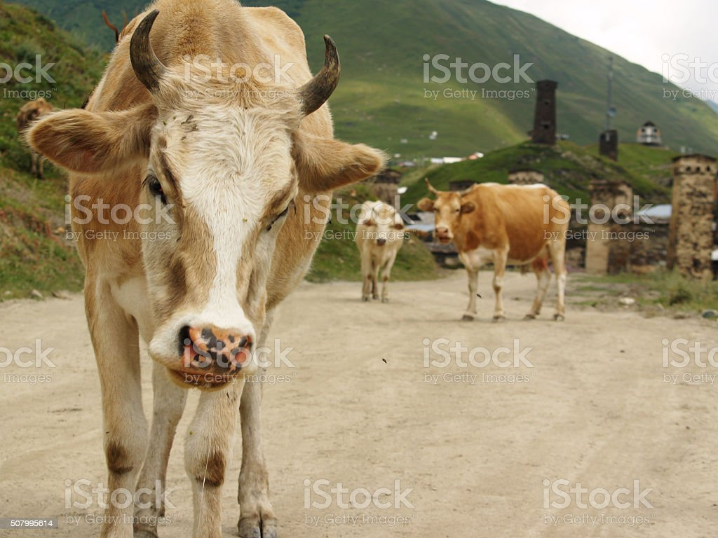 cows oudoors stock photo