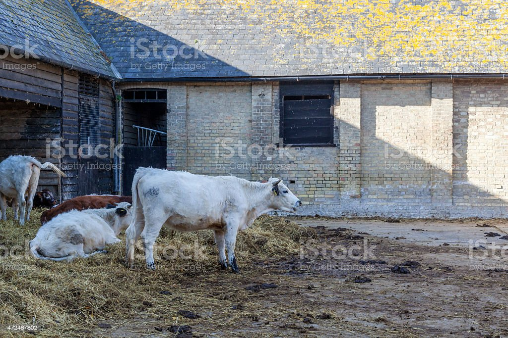 cows outside farm buildings stock photo