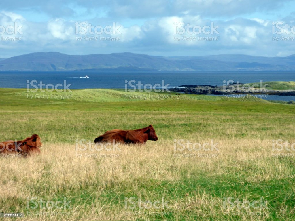 Cows Pasture Quietly in a Field on the Island of Iona, Inner Hebrides, Scotland stock photo
