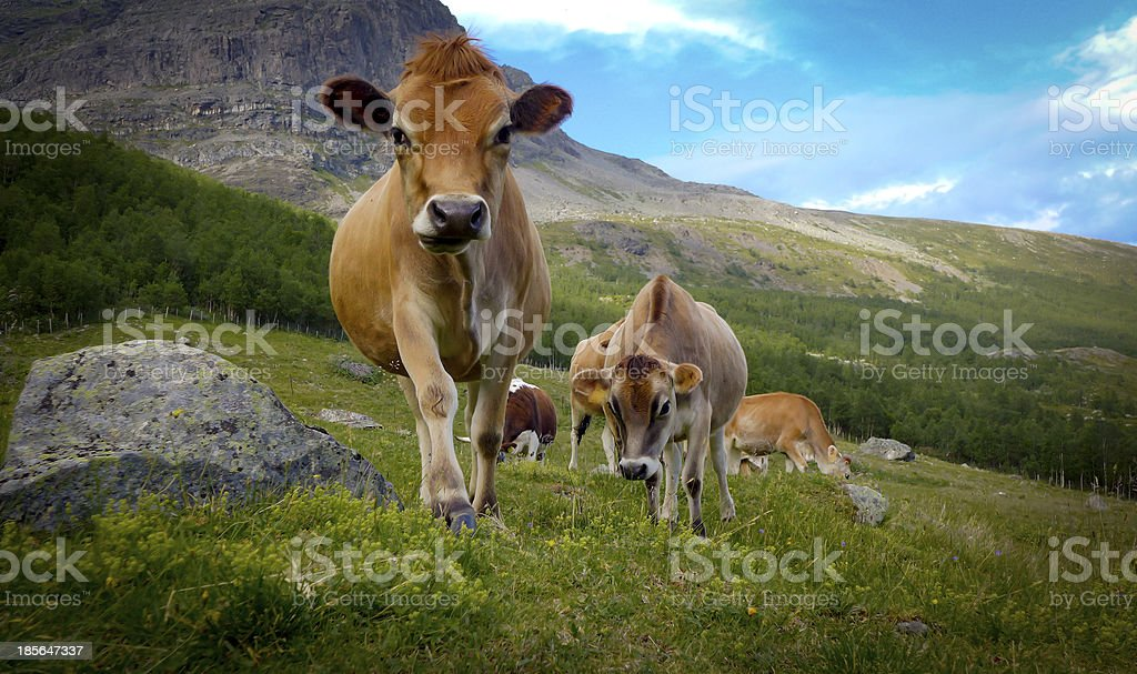 Cows (Jersey cattle) stock photo
