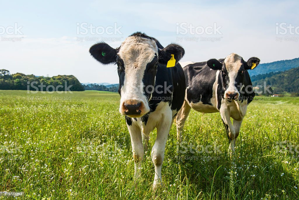 Cows stock photo