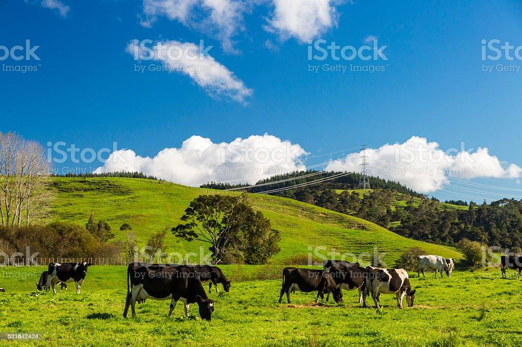 Cows stock photo