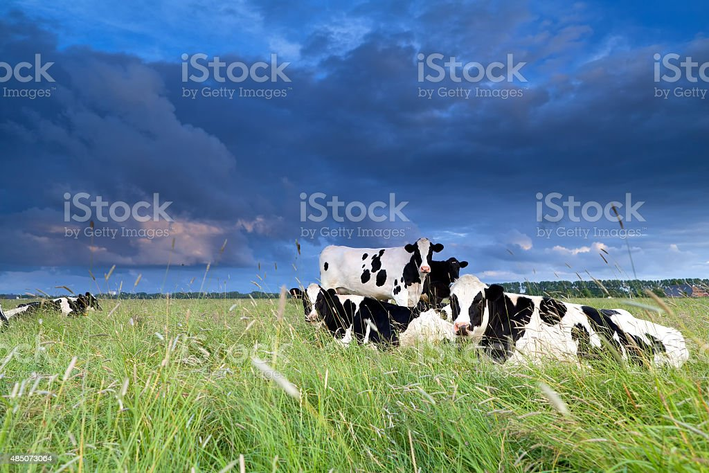 cows relaxed on pasture stock photo