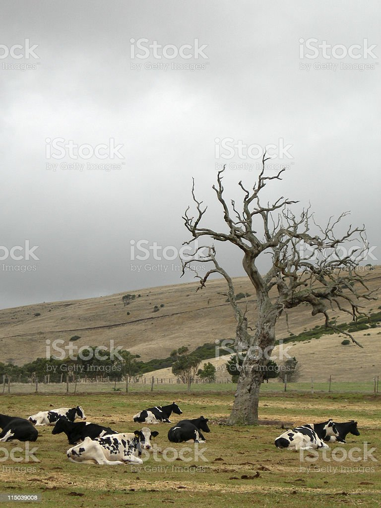 Cows relaxing stock photo