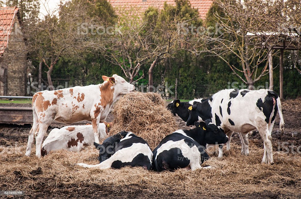 Cows resting on farm stock photo